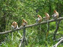 Long-nosed Monkeys Or Probosci...