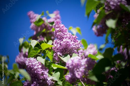 Foto op Aluminium Lilac Flieder