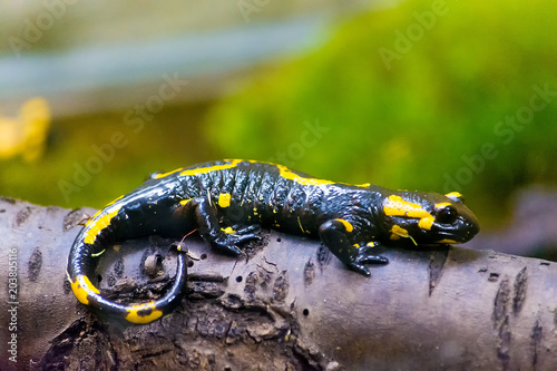 A fiery salamander of black color with bright yellow spots sits on a log. Wild nature.