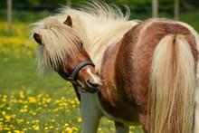 Shetland Pony, U.K. Horse Hav...