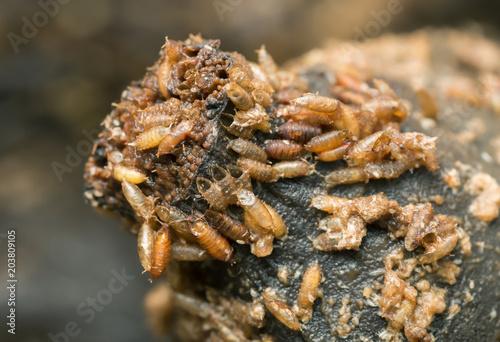 Larvae and pupa in banana of common fruit fly, Drosophila melanogaster