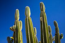 Huge Green Cactus On Blue Sky Background In Israeli Desert