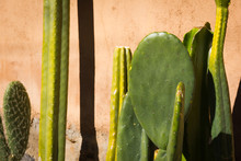 Different Green Cactus Close Up On The Sun By Pink Wall