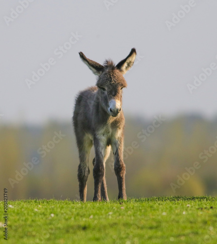 Deurstickers Ezel Cute baby donkey on floral pasture