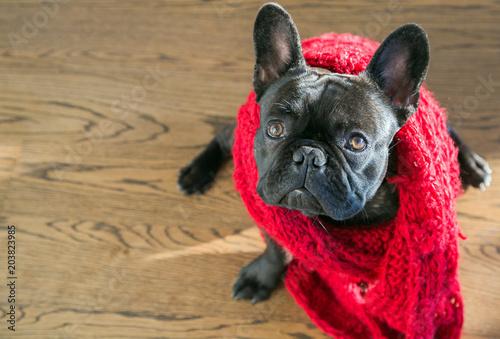 Foto op Plexiglas Franse bulldog French Bulldog posing