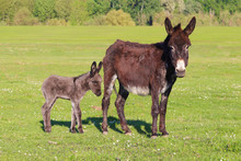 Baby Donkey And Mother On Floral Field