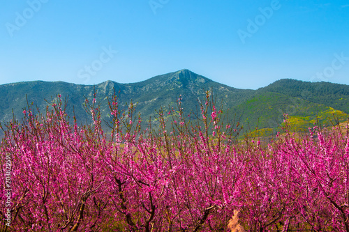 Foto op Plexiglas Crimson Beautiful flowers from the peach tree