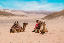 Camel In Arabic Desert In The Summer Heat