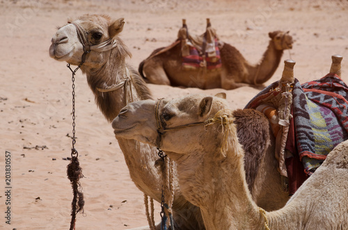 Foto op Canvas Kameel Camel in arabic desert in the summer heat