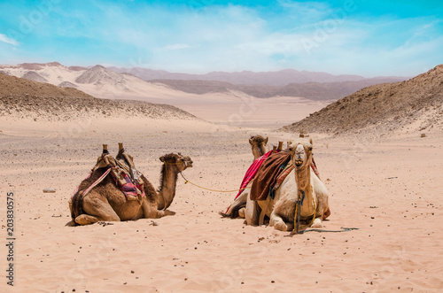 Poster Chameau Camel in arabic desert in the summer heat