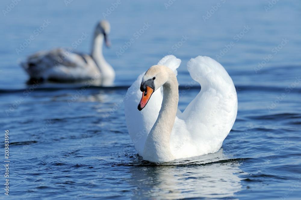 Swan on the lake.