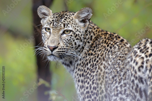 Spoed Foto op Canvas Luipaard Portrait of a young female leopard in Sabi Sands Private Game Reserve in South Africa
