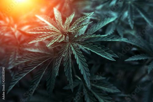 Photo  marijuana  background at sunset. bush cannabis.