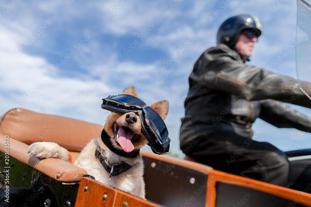 Fototapeta Shetland Sheepdog sits with sunglasses in a motorcycle sidecar