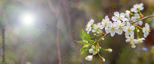 Blooming cherry branch in the spring garden at the wedding ceremony.