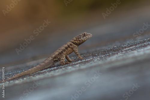 little lizard on a wall Poster
