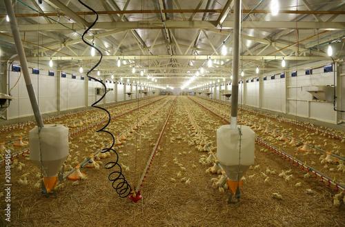 Indoors chicken farm, chicken feeding Canvas Print