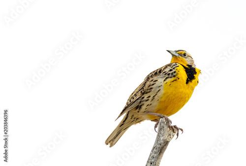 Valokuvatapetti Western Meadowlark
