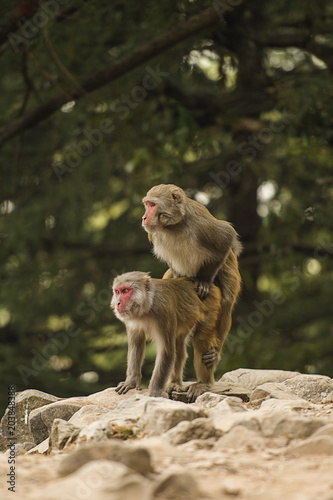 Monkeys sex coitus