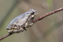 Gray Treefrog (Hyla Versicolor) On A Stick, Iowa, USA.