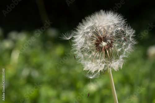 Macro Dandelion Puff Losing Seeds on Black and Green Background