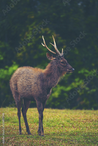 Staande foto Hert wild deer in forest, Khao Yai National Park, Thailand