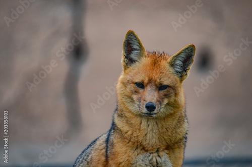 Fotografie, Obraz  Andean Fox, or culpeo (Lycalopex culpaeus)