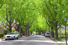 Tall Liquid Amber, Commonly Called Sweet Gum Tree, Or American Sweet Gum Tree, Lining An Older Neighborhood In Northern California. Spring, Summer Beginning. Trees Vibrant Green.