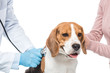 cropped shot of woman holding beagle and veterinarian examining it by stethoscope isolated on white background