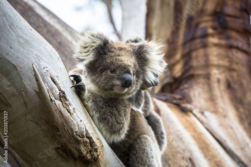 Staande foto Koala Wild koala seen along the way to Cape Otway Lightstation Melbourne Australia Great Ocean Road