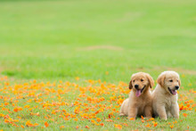 Two Golden Retriever Puppies S...