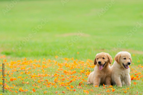 Obraz na plátně Two golden retriever puppies sit in the garden with the fallen yellow flowers ba