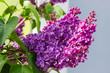 Inflorescences of the purple lilac at selective focus
