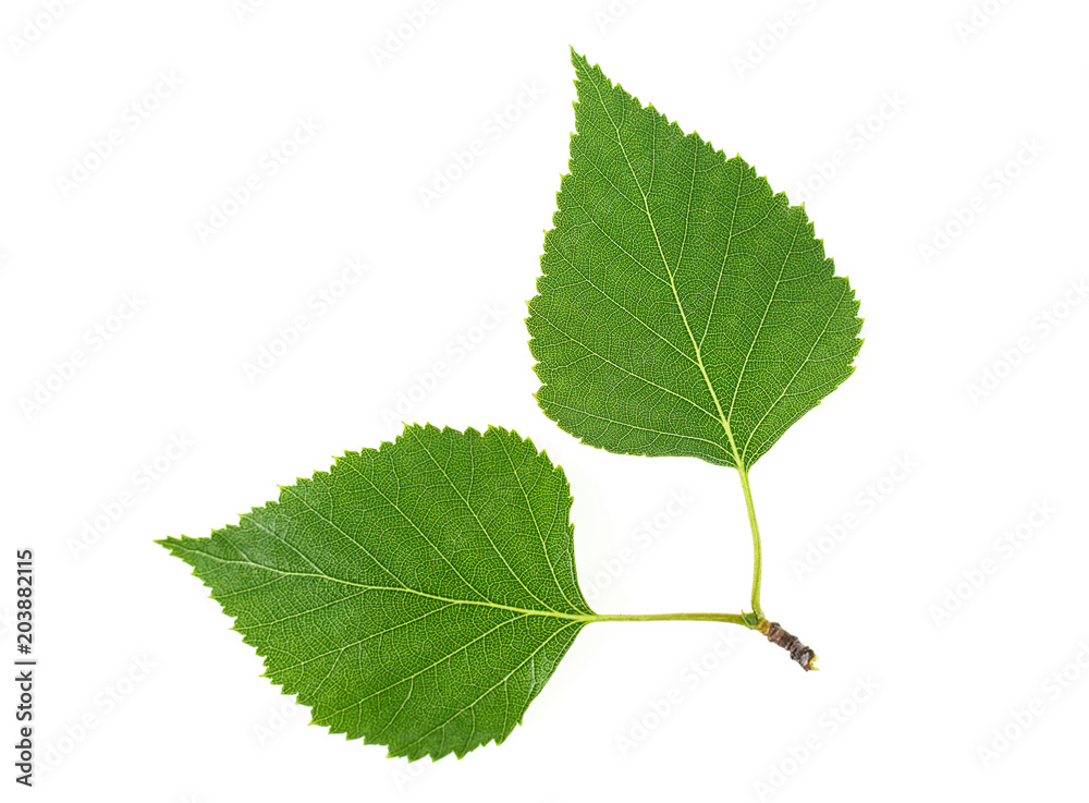 Birch leaves isolated on a white background. Top view.