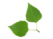 Birch Leaves Isolated On A Whi...