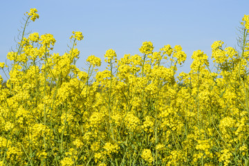 Fototapeta Blooming colza flowers in a colza field in Poland. Yellow colza flower. Rape flower on rapeseed.