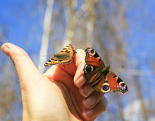 Two Colorful Beautiful Fragile Butterflies Sit On Their Fingers And Are Going To Fly To The Sky