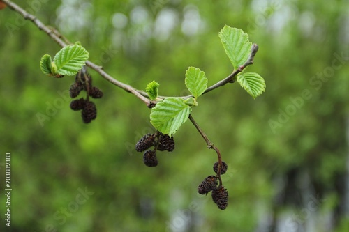 Photo Alnus glutinosa in spring, branch of black alder