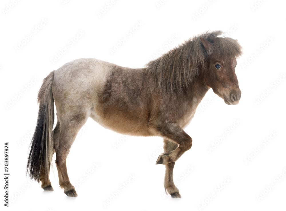 Fototapety, obrazy: Falabella miniature horse