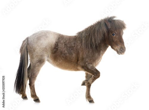 Fototapeta Falabella miniature horse