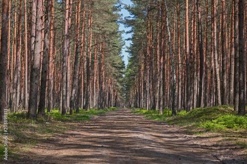 Droga przez wysoki, sosnowy las.