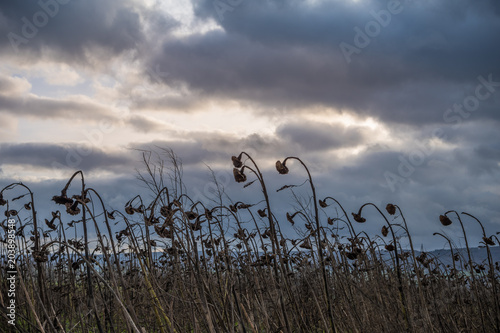 wilted sunflowers on the field at sunset Canvas-taulu