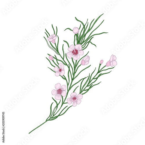 Blooming pink Geraldton wax flowers isolated on white