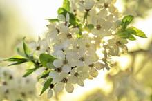 Spring Blossom Flower