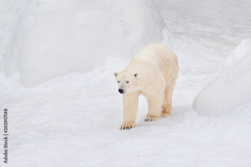 Large arctic bear is walking on white snow. Animals in wildlife.