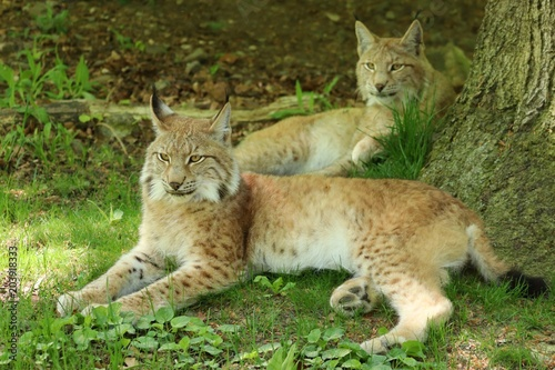 portrait of two European Lynx lying under a tree