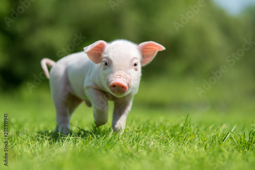 Newborn piglet on spring green grass on a farm