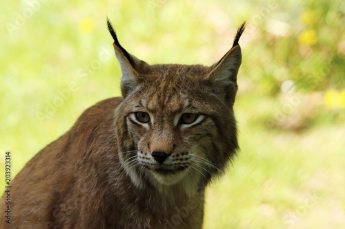Fotobehang Lynx Portrait of an European lynx, the third largest predator in Europe