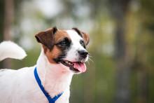 Russell Terrier Posing Outside. Dog Winner.