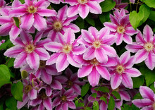 DECORATIVE FLOWERS OF THE CLEMATIS IN THE SPRING GARDEN .